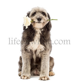 Crossbreed, 4 years old, sitting and holding a white rose in its mouth in front of white background