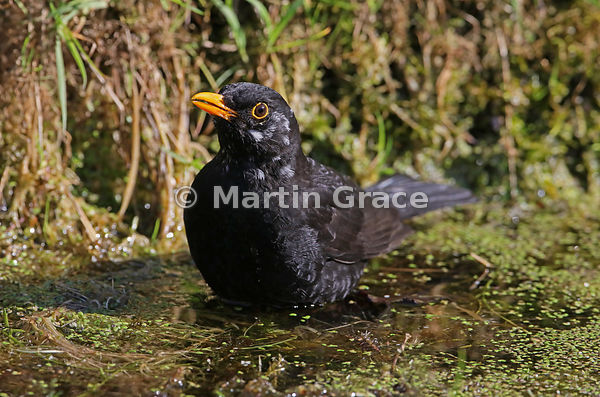 Male Common Blackbird (Turdus merula) standing on vegetation in the garden pond to drink and bathe, Lake District National Pa...