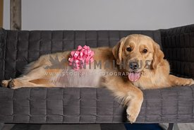 pregnant golden retriever laying on grey sofa