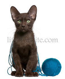 Havana Brown kitten with ball of blue yarn, 15 weeks old, sitting in front of white background
