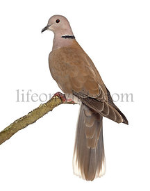 African collared dove perched isolated on white