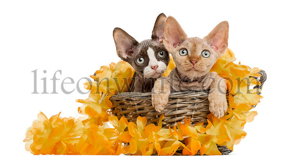 Two Devon rex in a wicker basket isolated on white