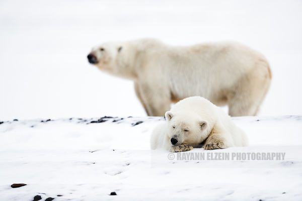 One polar bear cub lying in the snow with its mother in the background in Svalbard, Norway