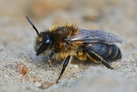 Closeup of a female of the vernal mining bee, colletes  cunicularius