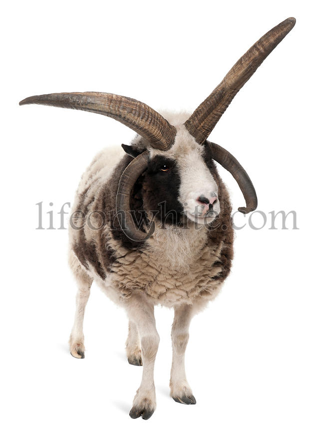 Multi-horned Jacob Ram, Ovis aries, in front of white background