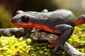 Taricha rivularis - Red bellied newt