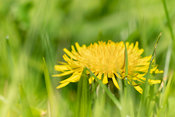 Dandelion hiding in the grass