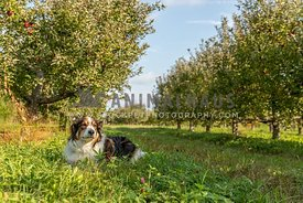 An English shepherd in an apple orchard
