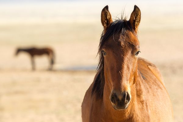 Headshot and distant silhouette of feral wild horses (Equus ferus Caballus)  in Namib desert, southern Namibia.