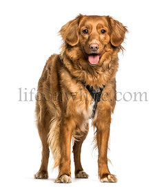 Nova Scotia Duck Tolling Retriever, Toller, standing against white background