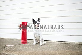 Black and white dog with a red fire hydrant