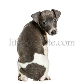 Italian Greyhound puppy sitting against white background