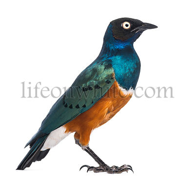 Superb Starling - Lamprotornis superbus - isolated on white