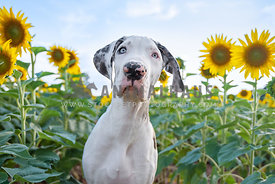 close up of white great dane puppy standing in sunflower field