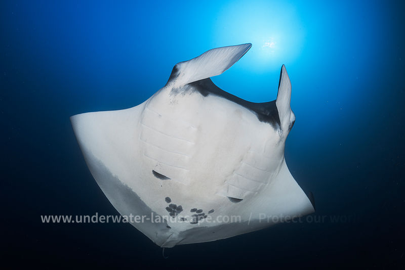 Oceanic Manta Ray against the light