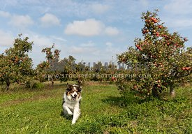 A shepherd running through an apple orchard