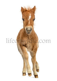 Young poney, foal trotting against white background