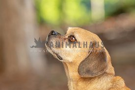 close up profile of puggle looking up