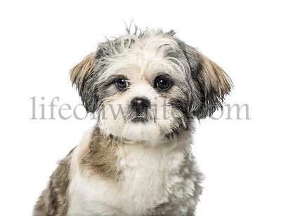 Lhasa Apso in front of white background
