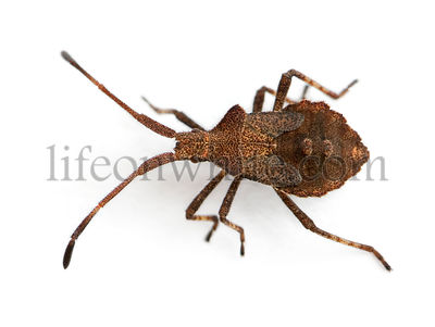 Dock bug, Coreus marginatus, in front of white background