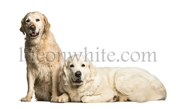 Golden Retriever & Polish Tatra Sheepdog