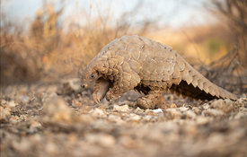 Ground Pangolin, Namibia
