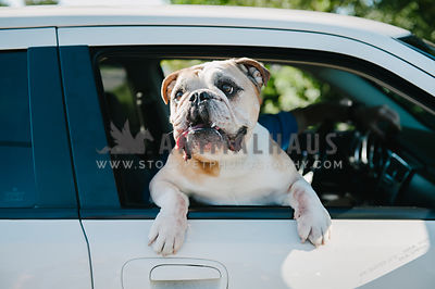 An English Bulldog hanging out the passenger window of a car