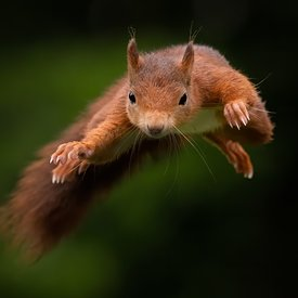 Red Squirrel Jumper