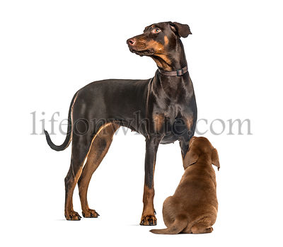 Doberman Pinscher, Labrador Retriever Puppy looking up, in front of white background
