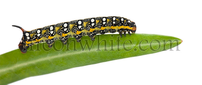 Spurge Hawk, Hyles Euphorbiae, caterpillar, 3 weeks on leaf against white background