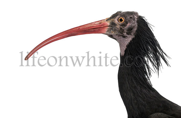 Close-up of a Northern Bald Ibis\'s profile, Geronticus eremita, isolated on white