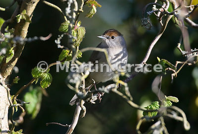 Female Eurasian Blackcap (Sylvia atricapilla) perches in a garden Forsythia bush, Lake District National Park, Cumbria, England