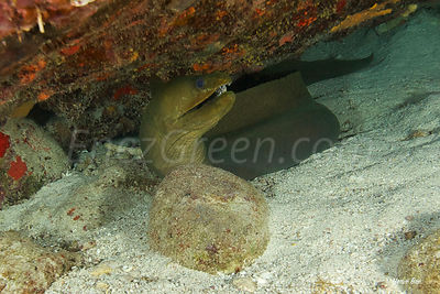 Moray eel Saint-Barth diving