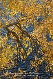 Image - Silver birch tree in autumn colours overhanging Loch Clair, Torridon, Wester Ross, Scotland.