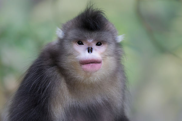Female Black Snub-nosed Monkey