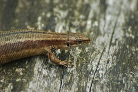 Closeup of a heavy gravid female viviparous or common lizard, Zootoca vivipare, infected with parasites on her cheeks