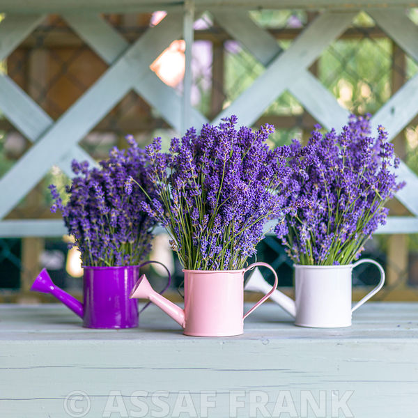 Watering cans with Lavender flowers