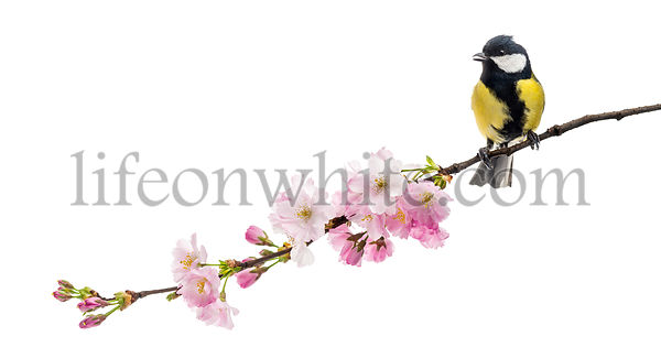 great tit perched on a flowering branch, Parus major, isolated on white