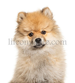 Headshot of a Keeshond staring at the camera, isolated on white