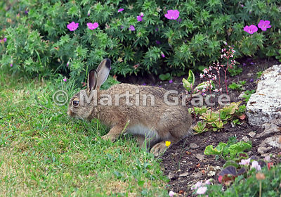 Young European Brown Hare (Lepus europaeus) grazing near a pink-flowered garden cranesbill (Geranium sp), Lake District Natio...