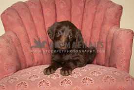 Cute brown labradoodle puppy lying on pink chair in studio
