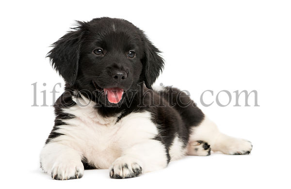 Stabyhoun puppy lying down, panting, isolated on white