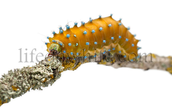 Caterpillar of the Giant Peacock Moth, Saturnia pyri, on tree branch in front of white background