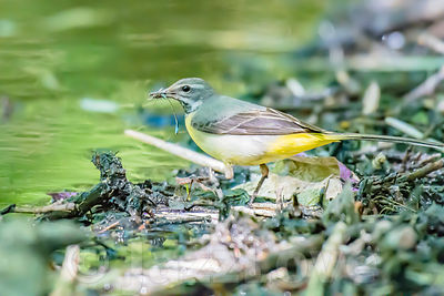 Yellow wagtail catching it's dinner.