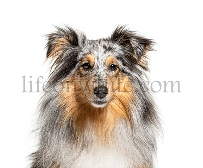 portrait of a Blue merle Sheltie, isolated