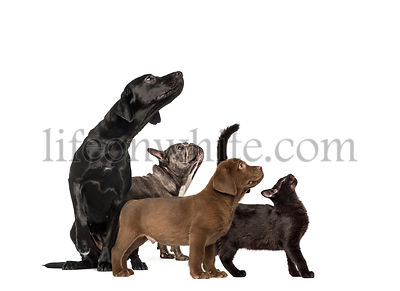 Groups of dogs, Labrador Retriever Puppy, Labrador Retriever, Mixed-breed black cat, French bulldog, in front of white backgr...
