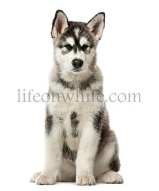 Puppy Alaskan Malamute sitting, 3 months old , isolated on white