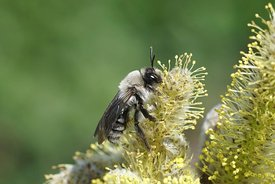 Closeup of a female of the grey backed mining bee, Andrena vaga on willow , Salix caprea