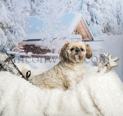 Lhasa apso sitting on fur rug in winter scene