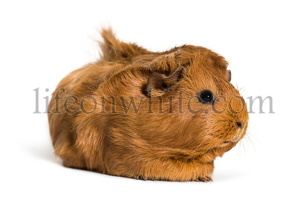 Guinea Pig, 6 months old, in front of white background